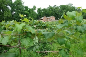 Im Nauvoo State Park wachsen die Reben von Baxter's Vineyards & Winery (c) Great River Road Illinois